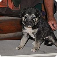 Adopt A Pet :: Raccoon - Hamilton, MT
