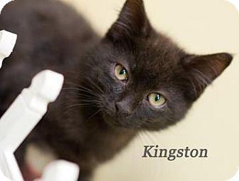 Domestic Shorthair Kitten for adoption in West Des Moines, Iowa - Kingston