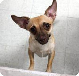 Chihuahua Dog for adoption in Yukon, Oklahoma - Lolly
