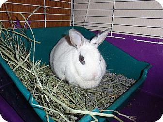 Dwarf Hotot for adoption in Mesa, Arizona - Daisy May