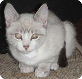Siamese Cat for adoption in Vancouver, Washington - Austin