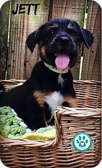 Labrador Retriever/Terrier (Unknown Type, Medium) Mix Puppy for adoption in Kimberton, Pennsylvania - Jett
