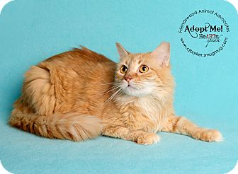 Domestic Mediumhair Cat for adoption in Friendswood, Texas - Butterball