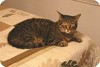 Domestic Shorthair Cat for adoption in Springfield, Pennsylvania - Susie