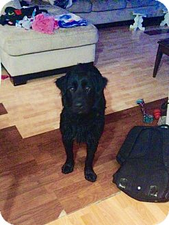 Labrador Retriever Mix Puppy for adoption in Edmonton, Alberta - Penelope
