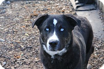 Husky/Australian Cattle Dog Mix Dog for adoption in Martinsville, Indiana - Apollo
