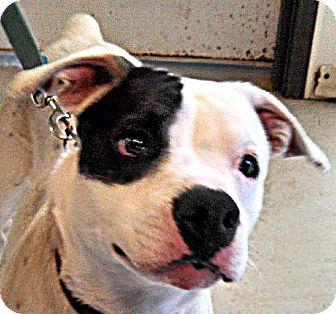 Pit Bull Terrier/American Bulldog Mix Puppy for adoption in Maquoketa, Iowa - Melody