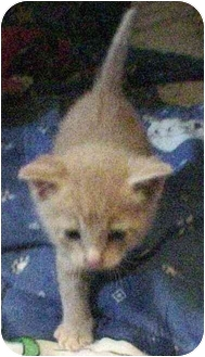 Domestic Mediumhair Kitten for adoption in Wamego, Kansas - Blondie