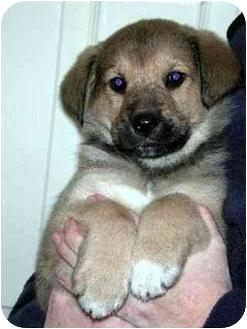 Shepherd (Unknown Type)/Husky Mix Puppy for adoption in Springdale, Ohio - Jason