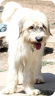 Old English Sheepdog Mix Dog for adoption in Bedminster, New Jersey - Bettina - pending