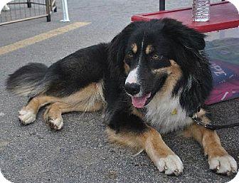 Bernese Mountain Dog/Australian Shepherd Mix Dog for adoption in Cedar Rapids, Iowa - Champ