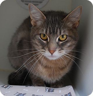 Domestic Shorthair Cat for adoption in Council Bluffs, Iowa - Martha