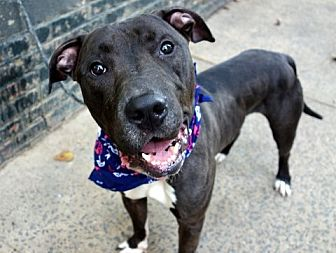 American Pit Bull Terrier Mix Dog for adoption in Manhattan, New York - King Tut