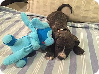 Pit Bull Terrier Mix Puppy for adoption in Gallatin, Tennessee - Cronkite