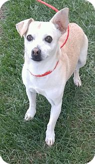 Chihuahua Mix Dog for adoption in Fruit Heights, Utah - Casper