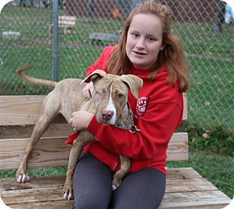 American Pit Bull Terrier Mix Puppy for adoption in Elyria, Ohio - Winky