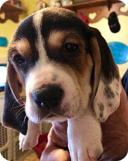 Basset Hound/Beagle Mix Puppy for adoption in ST LOUIS, Missouri - HUMPHREY BOGART