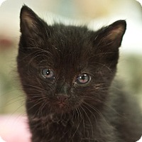 Domestic Shorthair Kitten for adoption in Great Falls, Montana - Bug