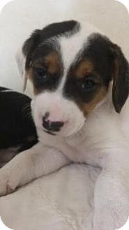Basset Hound Mix Puppy for adoption in Dallas, Texas - Aleta