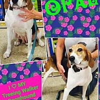 Adopt A Pet :: Opal - Fenton, MO