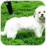 Photo 2 - Lhasa Apso/Shih Tzu Mix Dog for adoption in Ile-Perrot, Quebec - Rita