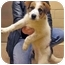 Photo 4 - Spaniel (Unknown Type)/Hound (Unknown Type) Mix Puppy for adoption in Mt. Prospect, Illinois - Glory