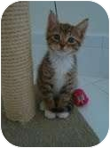 Domestic Shorthair Kitten for adoption in Coral Springs, Florida - Tinky