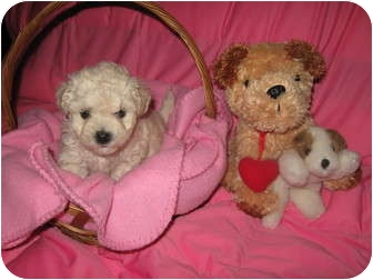 Poodle (Toy or Tea Cup)/Maltese Mix Puppy for adoption in Wauseon, Ohio - Cookie