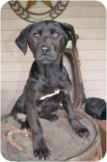 Labrador Retriever Mix Puppy for adoption in Salem, Massachusetts - Sugar