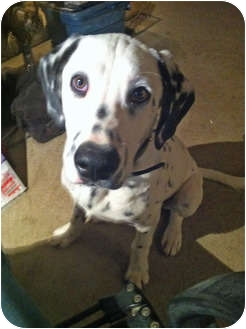 Dalmatian Puppy for adoption in Mandeville Canyon, California - Troy
