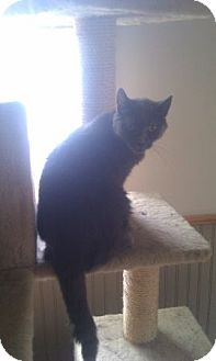 Domestic Shorthair Cat for adoption in Madison, Wisconsin - Gigi