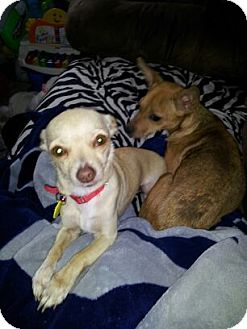 Chihuahua Dog for adoption in Bardonia, New York - Blondie