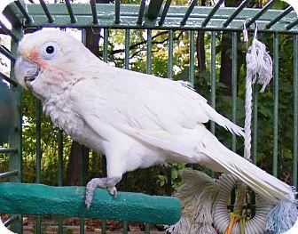 Cockatoo for adoption in Mantua, Ohio - GILLIGAN