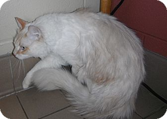 Domestic Longhair Cat for adoption in Jackson, Michigan - Lucky