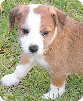 Jack Russell Terrier/Tibetan Terrier Mix Puppy for adoption in La Habra Heights, California - Charlie