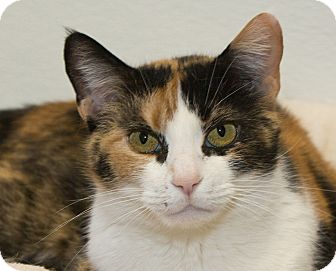 Domestic Shorthair Cat for adoption in Elmwood Park, New Jersey - Bubbles