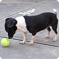 Adopt A Pet :: Tyko - Houston, TX