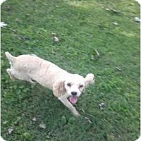 Adopt A Pet :: lacey - Murfreesboro, TN