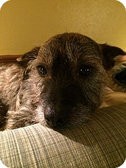 Cairn Terrier/Terrier (Unknown Type, Small) Mix Dog for adoption in Astoria, New York - Chuck