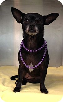 Chihuahua Mix Dog for adoption in Dublin, California - Kobe