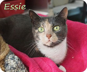 Domestic Shorthair Cat for adoption in Ocean View, New Jersey - Essie @ Petsmart