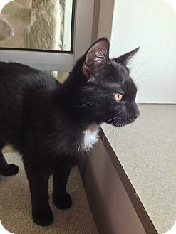 Domestic Shorthair Cat for adoption in Chambersburg, Pennsylvania - Fiddy