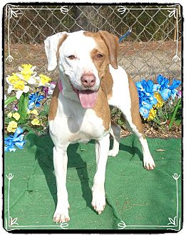 Pointer Mix Dog for adoption in Marietta, Georgia - GINGER-adopted @ off site