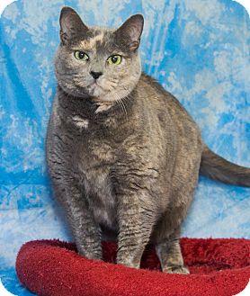 Domestic Shorthair Cat for adoption in Elmwood Park, New Jersey - Kristi