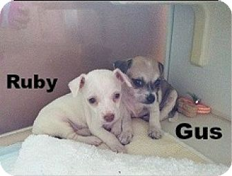 Chihuahua Mix Puppy for adoption in San Antonio, Texas - Ruby