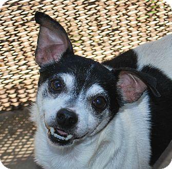 Rat Terrier Dog for adoption in Cleveland, Oklahoma - Eli-$60