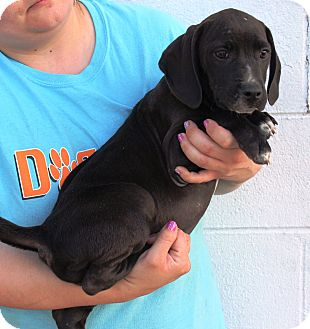 English Pointer/Black and Tan Coonhound Mix Puppy for adoption in Starkville, Mississippi - Branwell