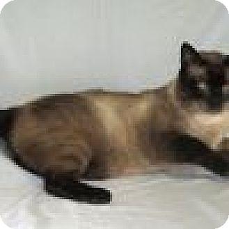 Siamese Cat for adoption in Powell, Ohio - Mishi