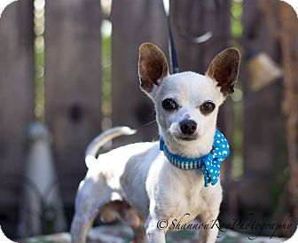 Chihuahua Dog for adoption in Vacaville, California - Quinn