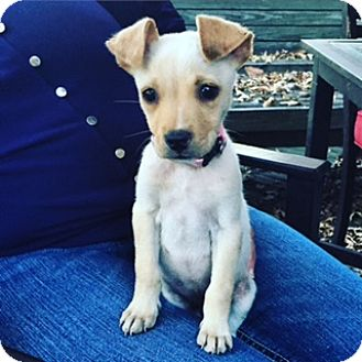 Labrador Retriever Mix Puppy for adoption in Nashville, Tennessee - Abby